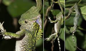 Indonesian white-spotted cat snake swallows a chameleon