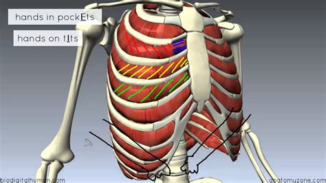 Muscles of the Thoracic Wall - 3D Anatomy Tutorial - YouTube