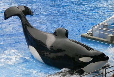 Petition Save Tilikum the killer whale in captivity for
