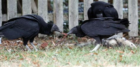 Black vulture numbers on rise at the shore | News