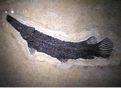 Garfish Fossil Information with Facts and Pictures